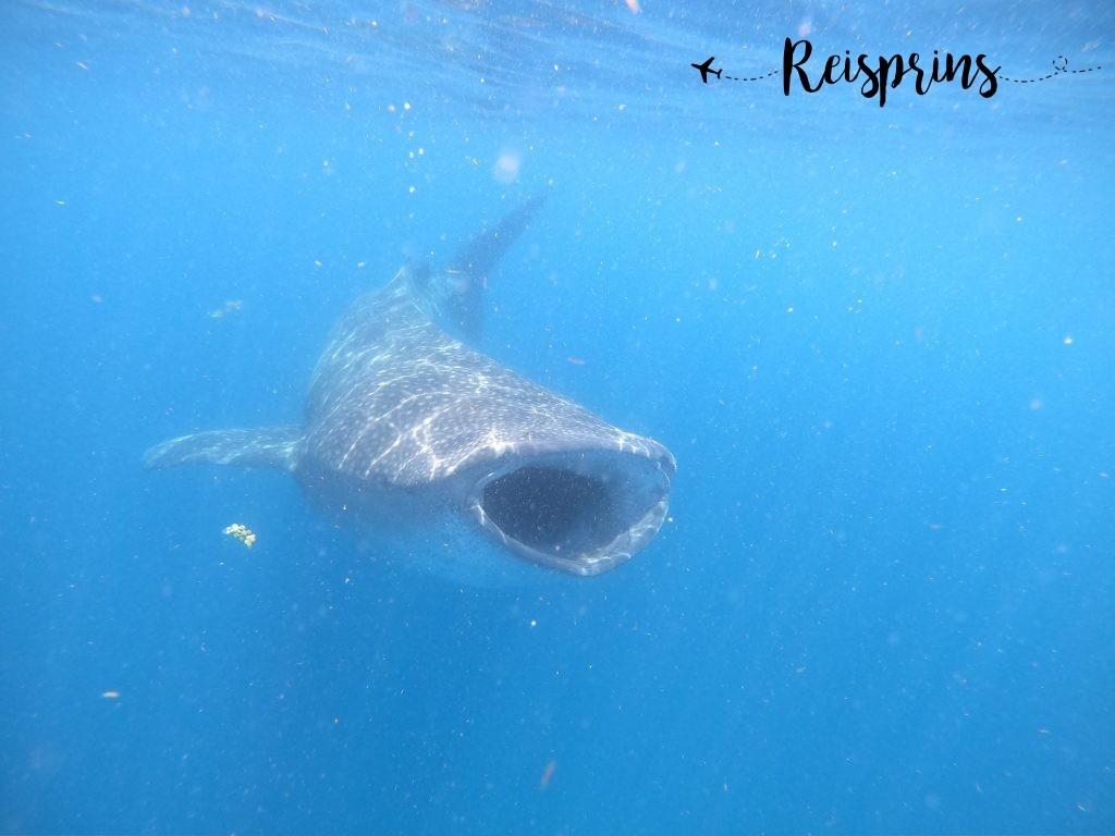 Zwemmen met de walvishaaien is een unieke activiteit